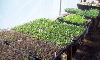 Kale, Spinach, and Lettuce starts in the Folk School Green House