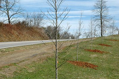 New Saplings Planted Along Brasstown Rd.