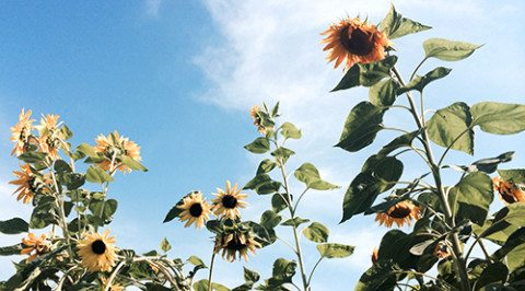 """Sunflowers are blooming in the Folk School Garden, August 2014. They are huge - over 8"""" tall!"""