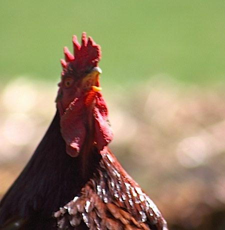 Is That Crowing I Hear?