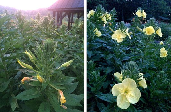 Closed blooms at sunset / Open blooms at dusk