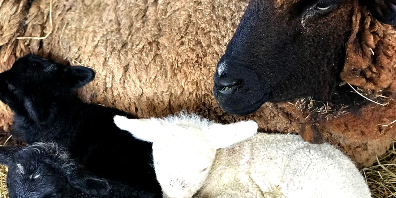 With Spring, Comes Lambs! What to Name Them?