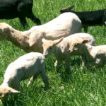 Shearing Day at Martha's Farm & A Prize for All